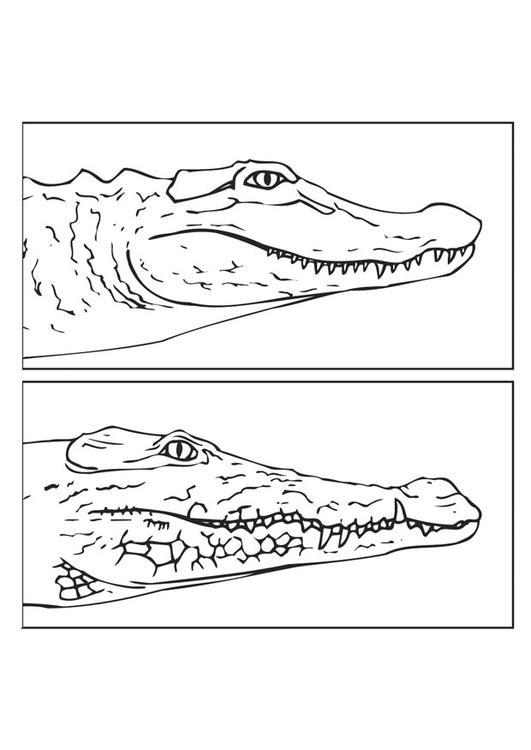 Dibujo para colorear Aligator - cocodrilo - Img 9435