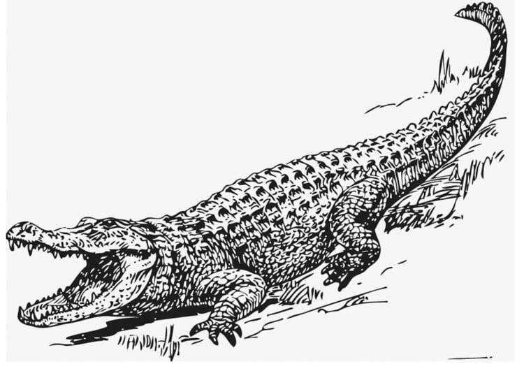 Dibujo para colorear Aligátor - Img 13209