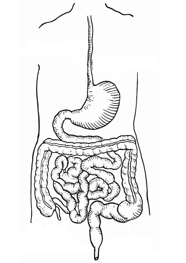 dibujo para colorear aparato digestivo
