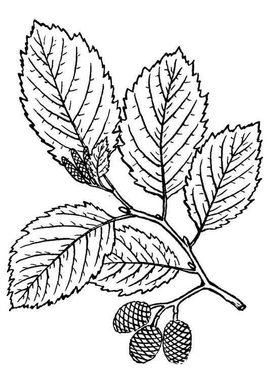 Dibujo para colorear árbol - aliso - Img 18816