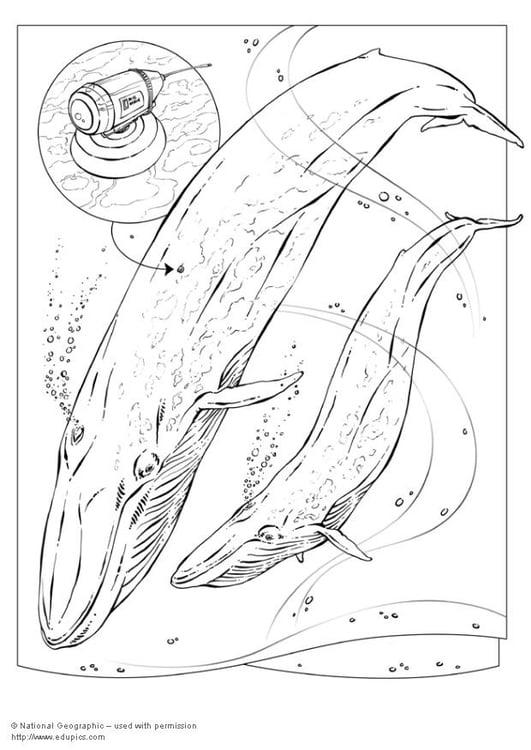 dibujo para colorear ballena azul