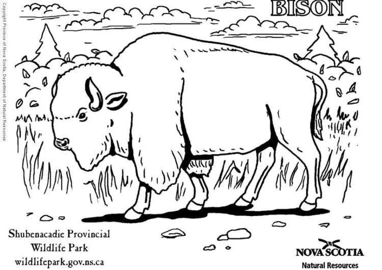 Dibujo para colorear Bisonte - Img 6007