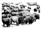 Dibujo para colorear Búfalos americanos