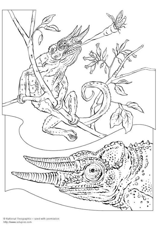 dibujo para colorear camaleón  dibujos para imprimir