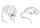 Dibujo para colorear cerebro de humano y cerebro de oveja