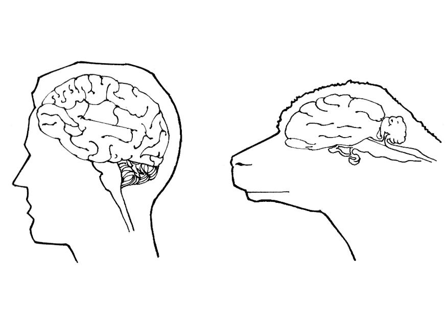 Atractivo Anatomía Bruto De Cerebro Festooning - Anatomía de Las ...