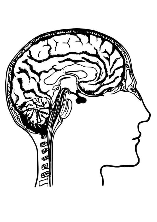 Dibujo para colorear cerebro - Img 27788