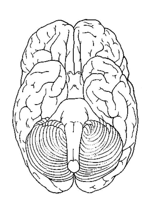 Dibujo Para Colorear Cerebro Visto Desde Abajo