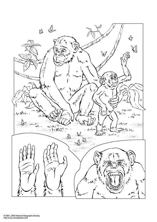 Dibujo para colorear Chimpancé - Img 3052