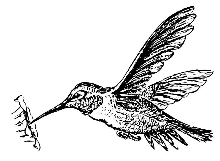 Dibujo para colorear Colibrí - Img 15722