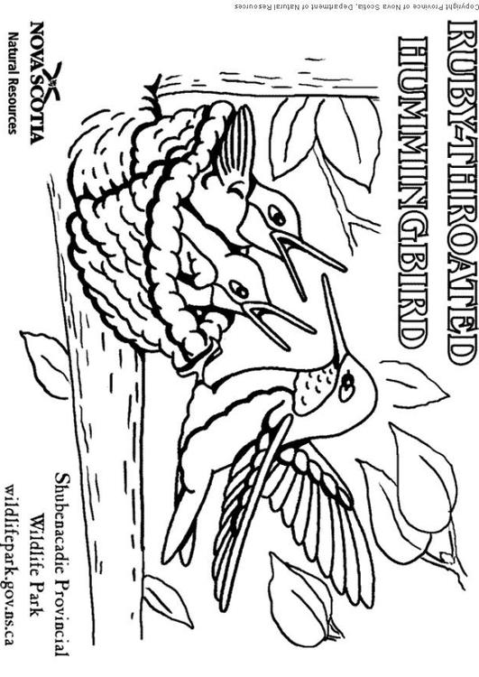 Dibujo para colorear Colibrí - Img 6004
