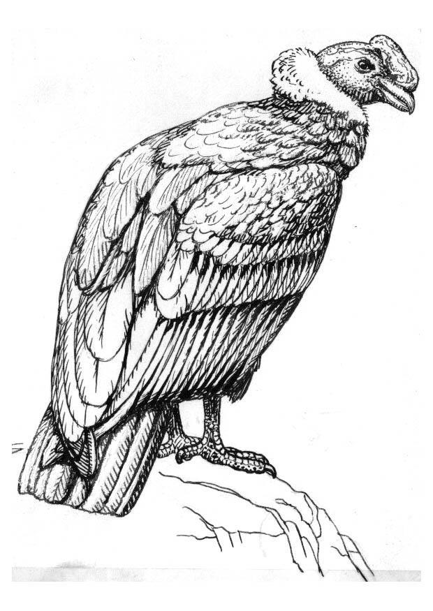 Dibujo para colorear condor - Img 16622