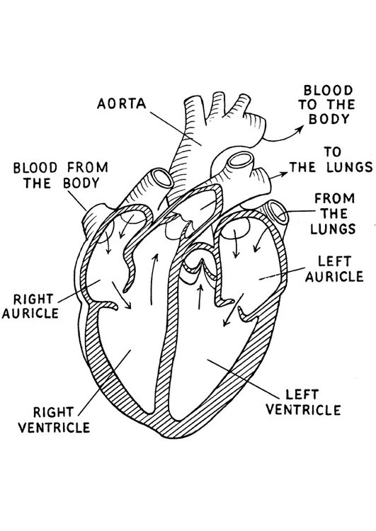 Dibujo para colorear corazón - Img 16644