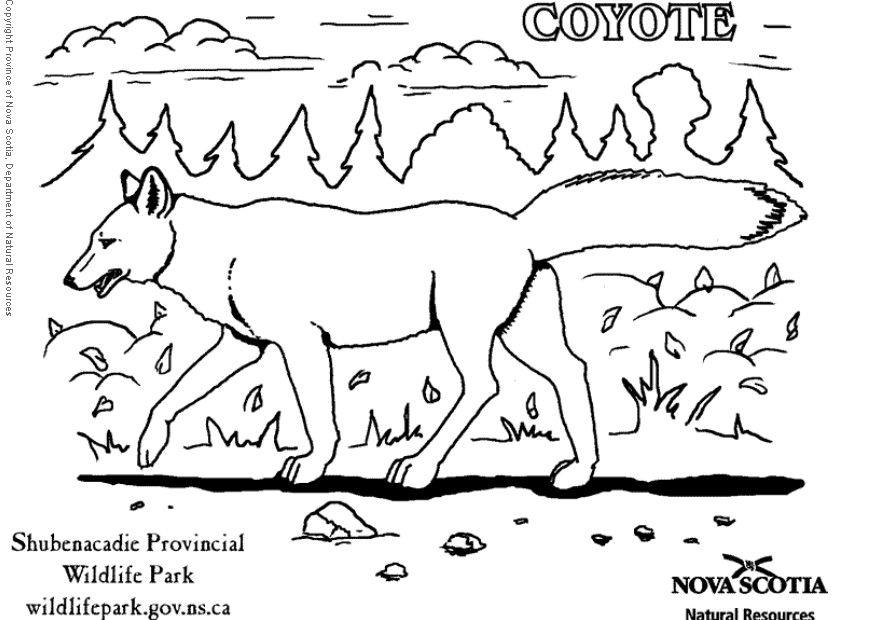 Dibujo para colorear Coyote  Img 6008