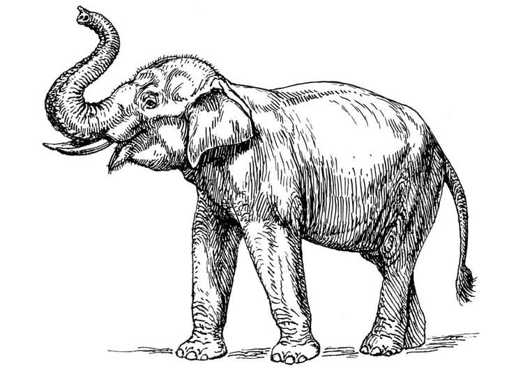 Dibujo para colorear elefante indio - Img 16646