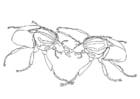 Dibujo para colorear Escarabajos luchando