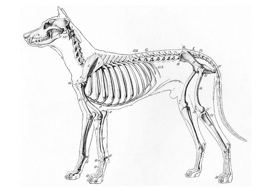 Dibujo para colorear esqueleto de perro  Img 19660