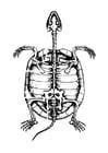 Dibujo para colorear esqueleto de tortuga