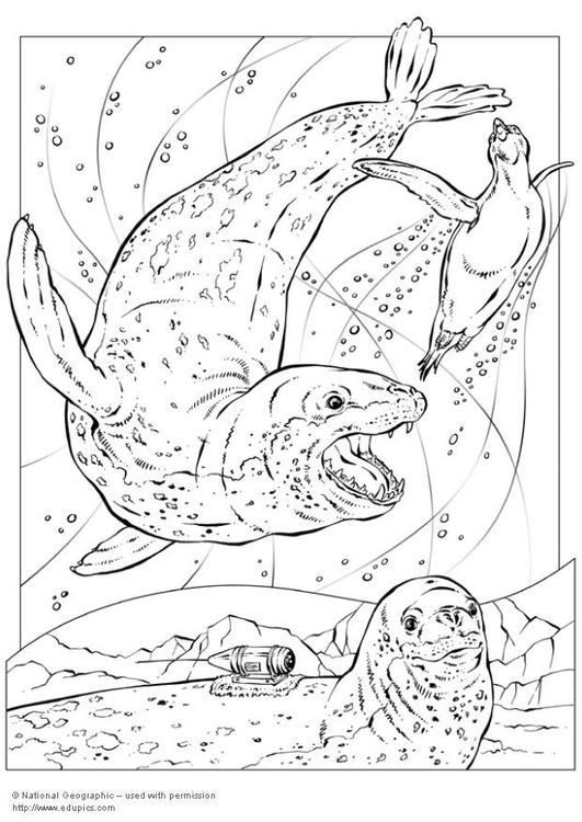 Dibujo Para Colorear Foca Leopardo Img 5743