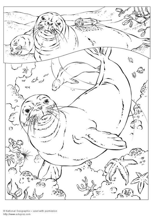 Dibujo para colorear foca monje img 5747 - Coloriage de phoque ...