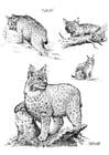 Dibujo para colorear Gato montés