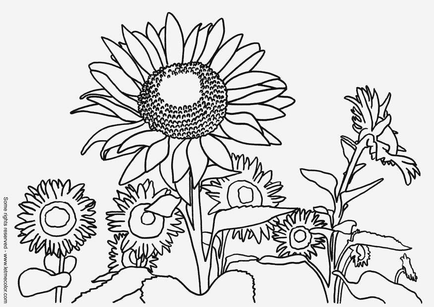 Dibujo Para Colorear Girasoles Dibujos Para Imprimir Gratis