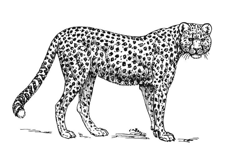 dibujo para colorear guepardo  dibujos para imprimir