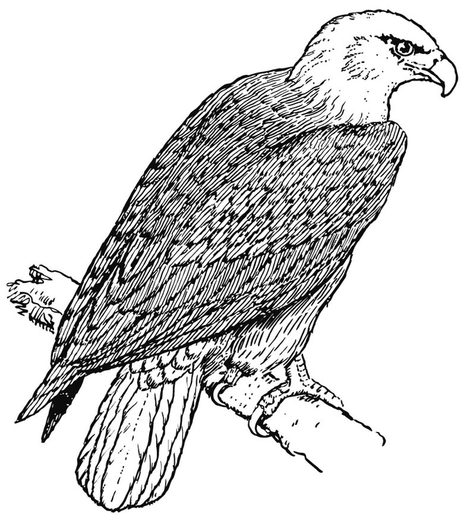 Dibujo Para Colorear águila Img 15695