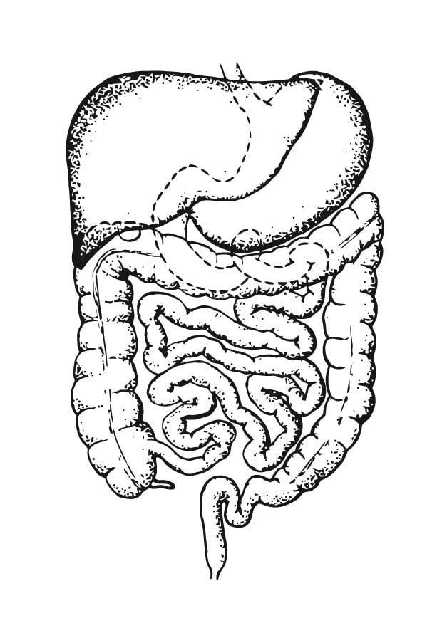 Dibujo para colorear Intestino - Img 12925