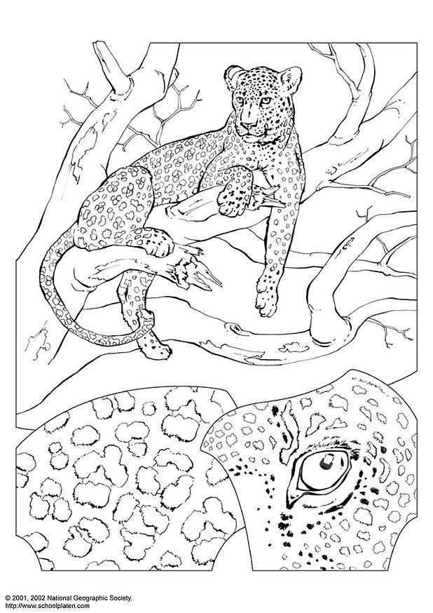 Dibujo Para Colorear Leopardo Img 3069