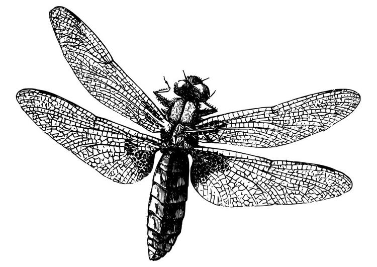 Dibujo para colorear libélula - Img 27982