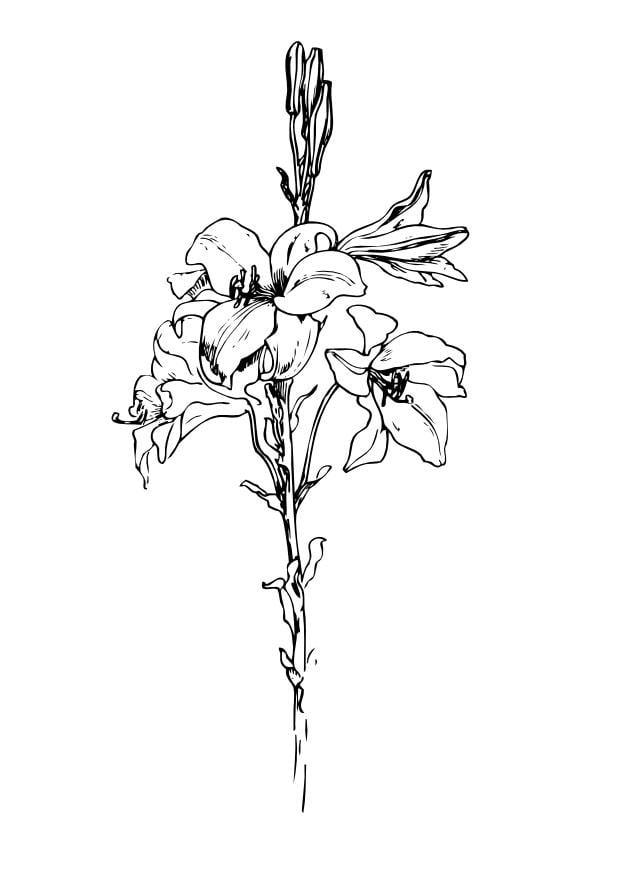 dibujo para colorear lirio  img 11715
