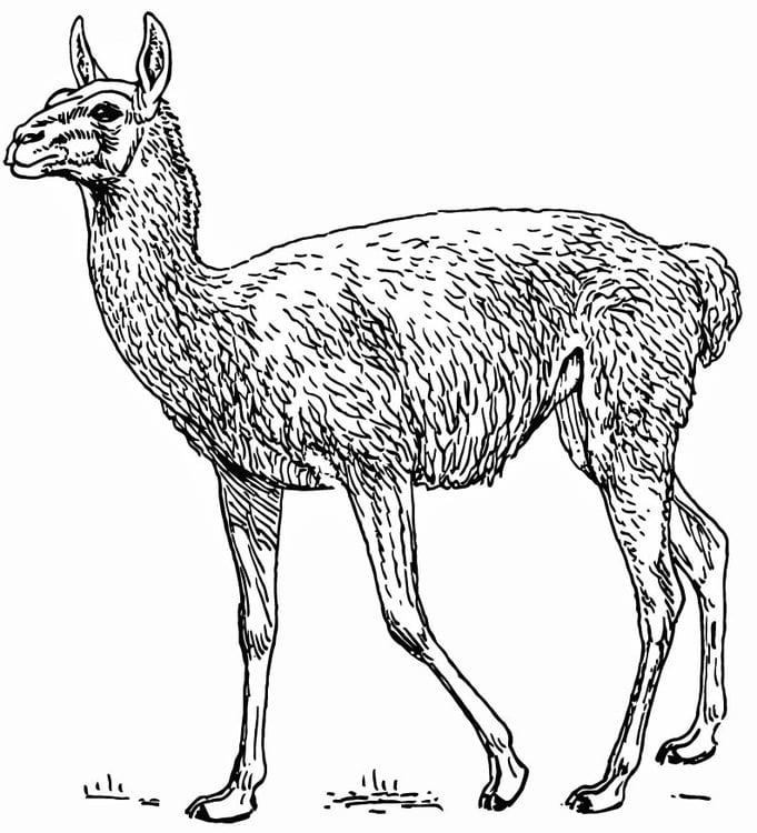 Dibujo para colorear Llama - Guanaco - Img 15742