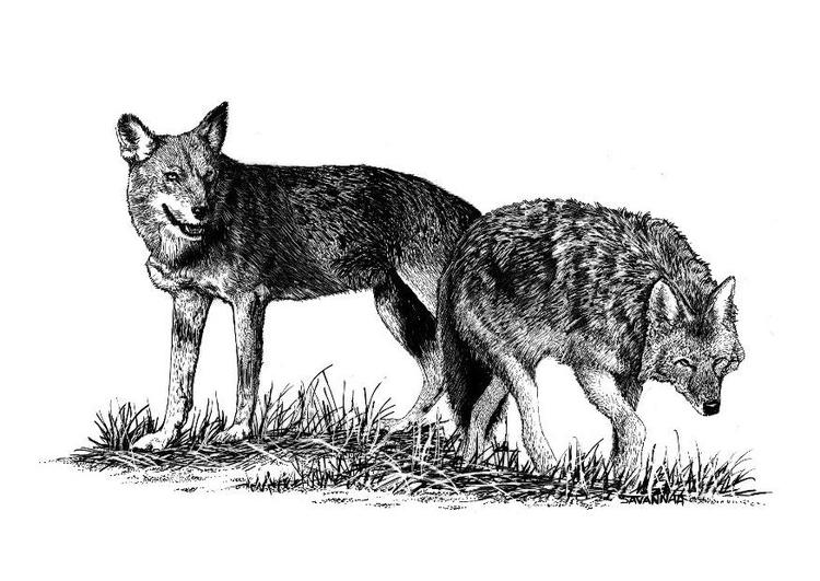 Dibujo para colorear Lobos - Img 8571