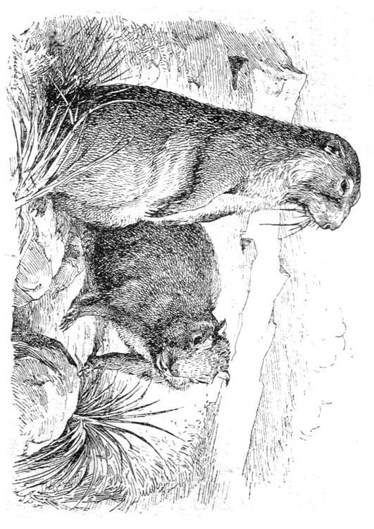 Dibujo para colorear Marmota - Img 9765