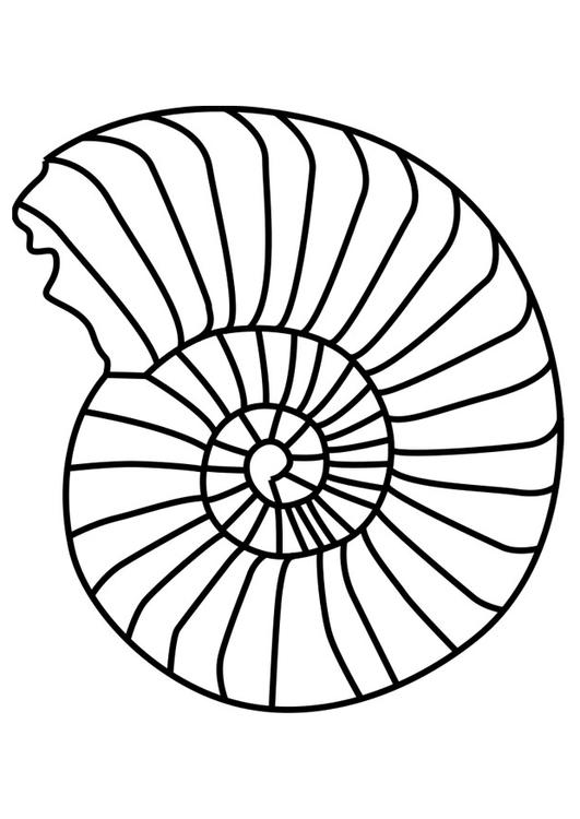 molusco ammonite