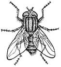 Dibujo para colorear mosca doméstica