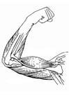 Dibujo para colorear Músculos del brazo