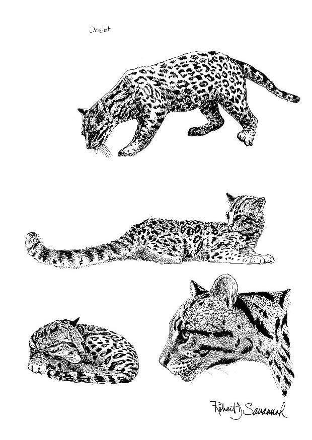 Dibujo Para Colorear Ocelote Dibujos Para Imprimir Gratis