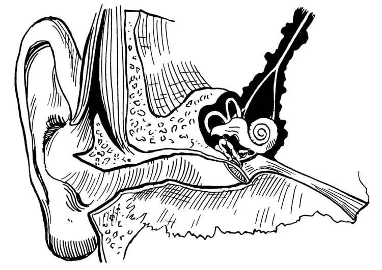 best Dibujo Del Oido Y Sus Partes Para Colorear image collection