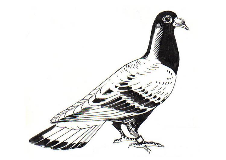 Dibujo para colorear paloma paloma mensajera img 18900 - Dessin pigeon ...