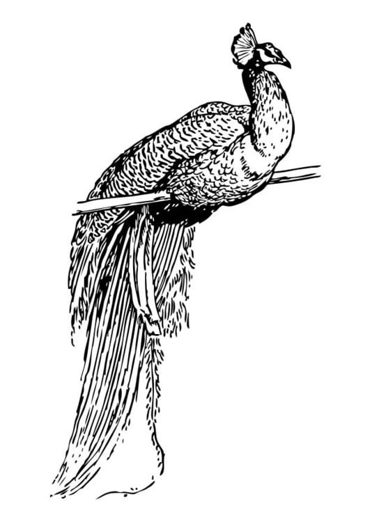 Dibujo para colorear pavo real - Img 17382