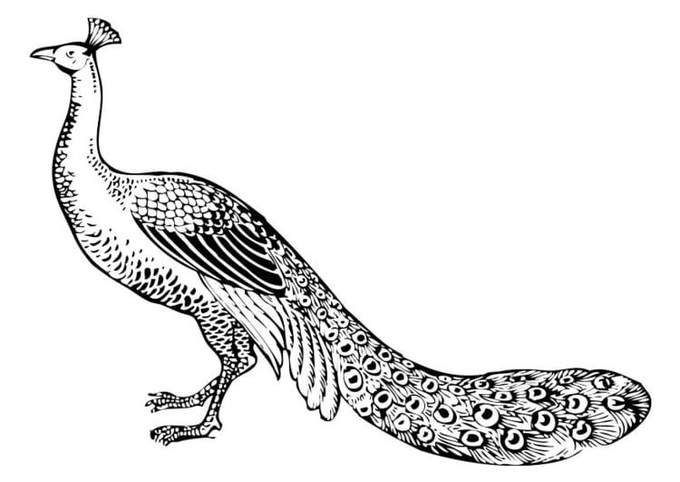 Dibujo para colorear pavo real - Img 17393