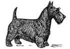 Dibujo para colorear perro - terrier escocés