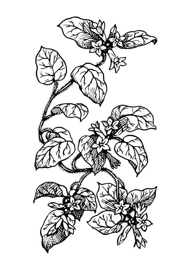 Dibujo para colorear planta img 27411 for Plantas ornamentales para colorear