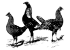 Dibujo para colorear pollos