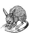 Dibujo para colorear rata - bandicoot