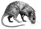 Dibujo para colorear Rata