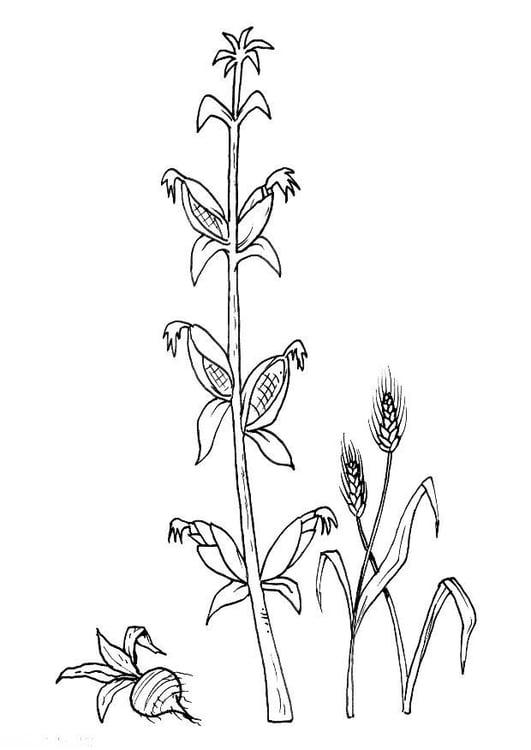 Dibujo para colorear Remolacha, maíz, grano - Img 8217