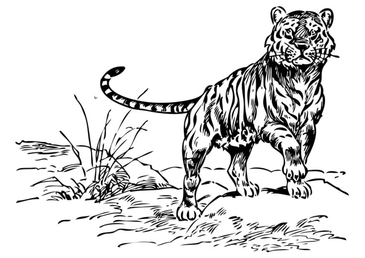 Dibujos De Caras De Tigres Para Colorear: Dibujo Para Colorear Tigre